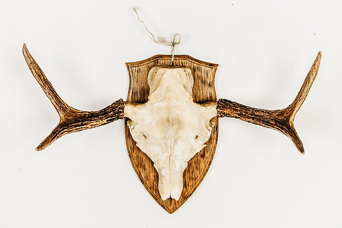 Vintage elk horn on oak plank