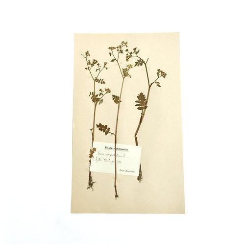 Antique Herbarium. Different floral species picked in Sweden 1890-1950s