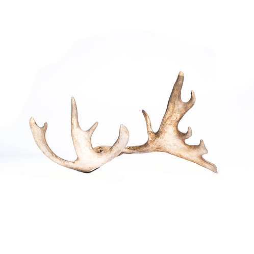 Swedish young rain deer horn mid century