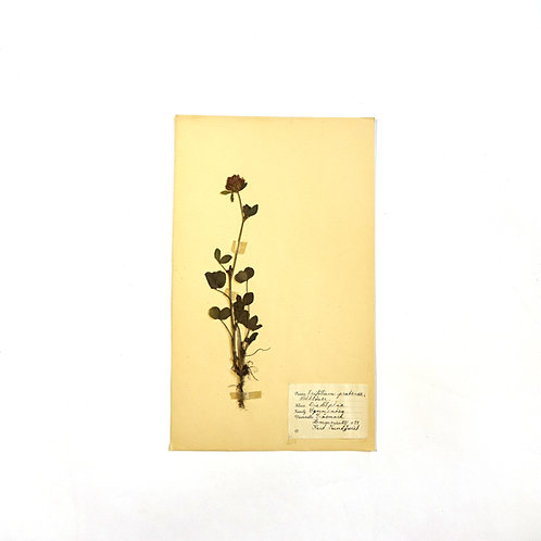 Antique herbarium