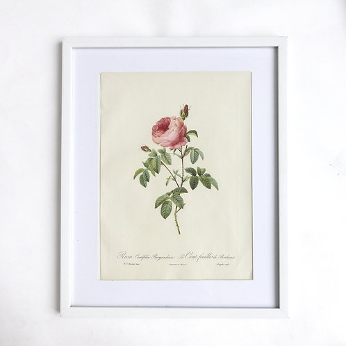 Vintage framed Original Lithograph by P.J Redoute from Sweden in fantastic cond