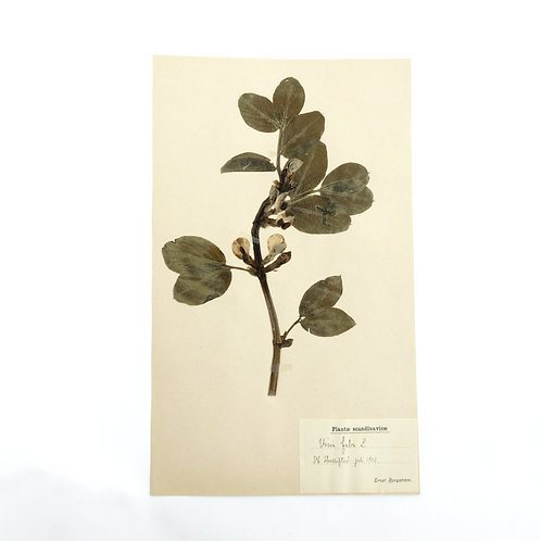 Antique Herbarium. Different floral species picked in Sweden 1890-1950s