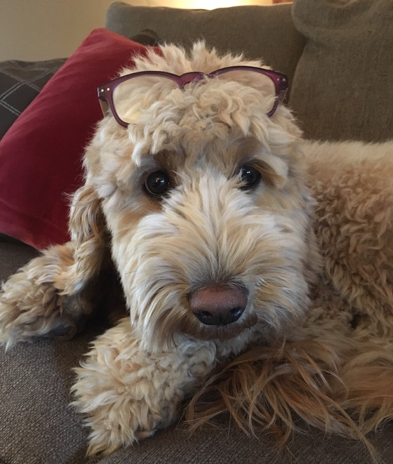 Life Lessons from The Gray Girl: a Goldendoodle.