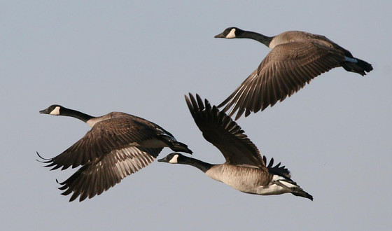 Canadian Geese: Pondering God's Creation, and a poem inviting you to pause...