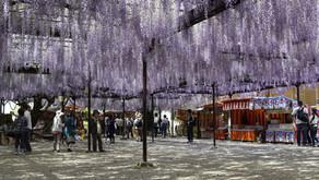 福岡県八女市黒木町の樹齢620年の大藤が刈り取られた件について