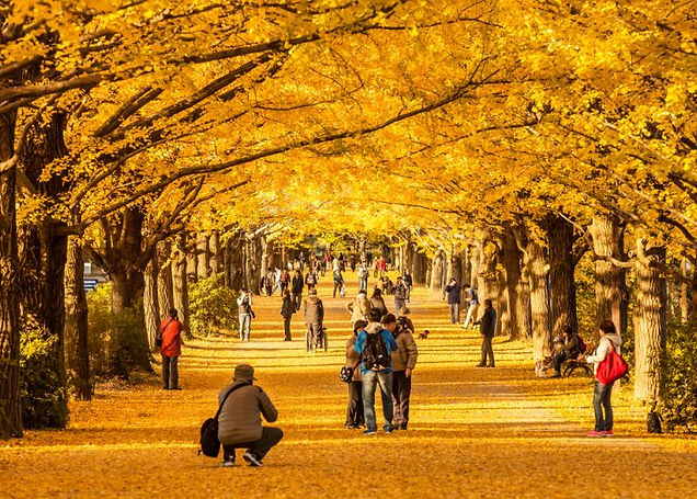 ginko-trees-autumn-japan-800x534.jpg