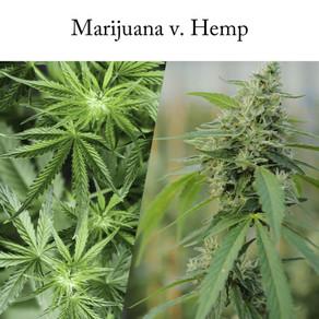 Marijuana v. Hemp