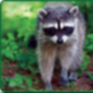 racoon_edited.png