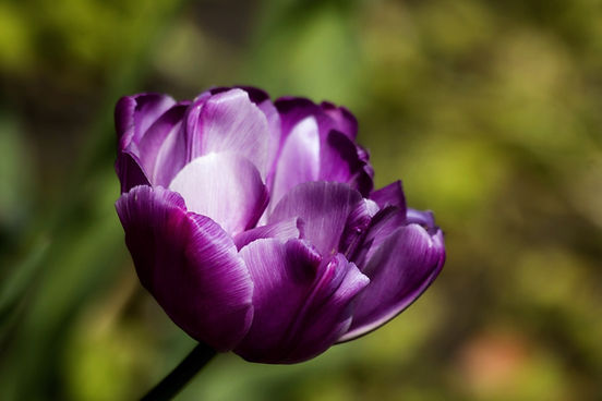 Violet Tulip - Divine Love and Abunance