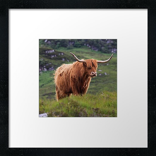 """Highland cow (3) (Example shown 10"""" Framed print £21.50)"""
