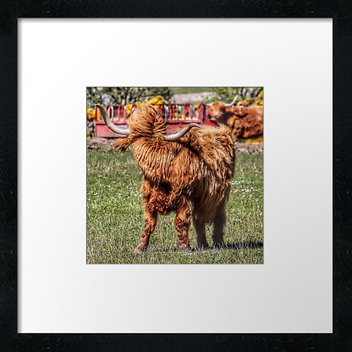 "Highland cow (2) (Example shown 10"" Framed print £21.50)"