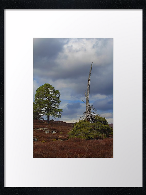 Cairngorms tree  30cm x 40cm framed print, canvas print or A4, A3 m