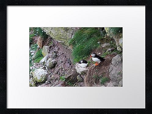Puffins  (1) 40cm x 30cm framed print or canvas print