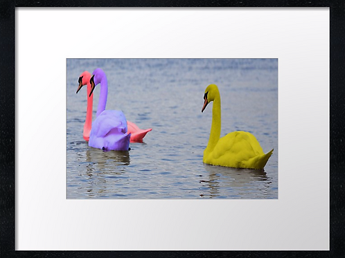 Coloured swans 40cm x 30cm framed print or canvas print