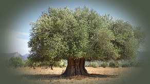 Why is the Olive Tree so Significant
