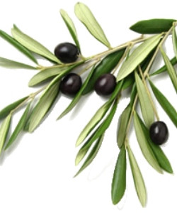 olive Branch in piece