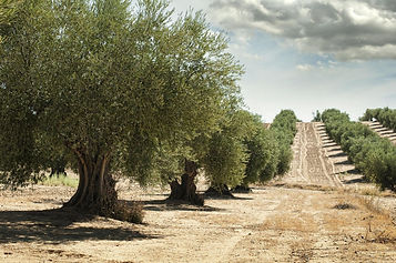 Sustainable olive grove example