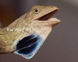 Ptyctolaemus gularis