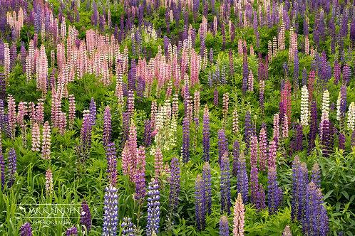 Lupin Meadows