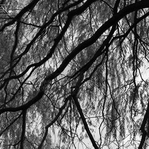 Willow Canopy