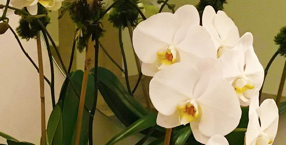 WHITE PHALAENOPSIS ORCHID PLANT