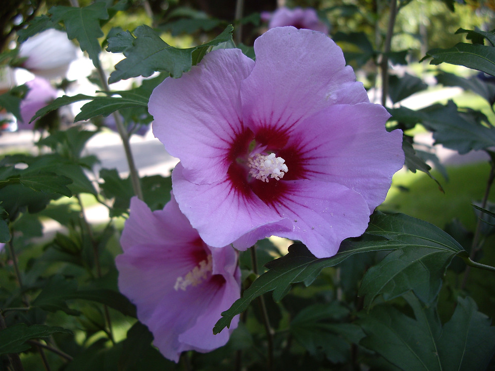 Hibiscus flower 1