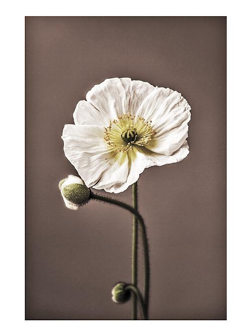 White Poppies - plakat