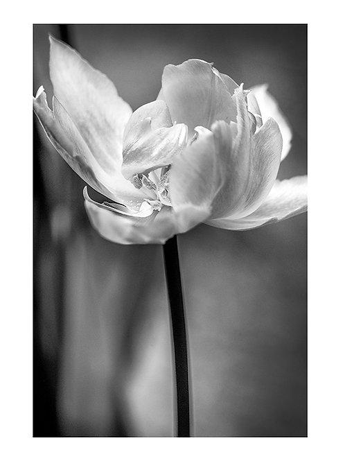 Tulip #1- plakat