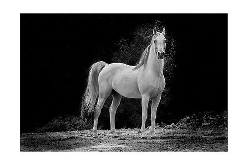 Koń siwy #2 - plakat