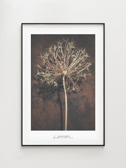 Allium Shadow#2 - plakat