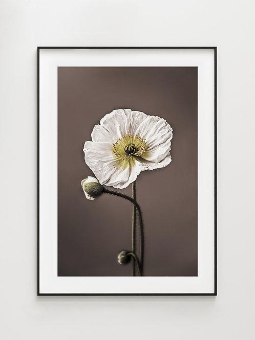 White Poppy - plakat