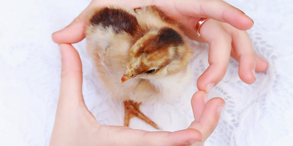 Raising Chicks 101