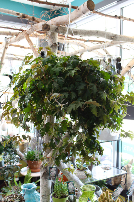 Oak Leaf Ivy