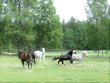 Hevonen ei anna tarhassa kiinni?