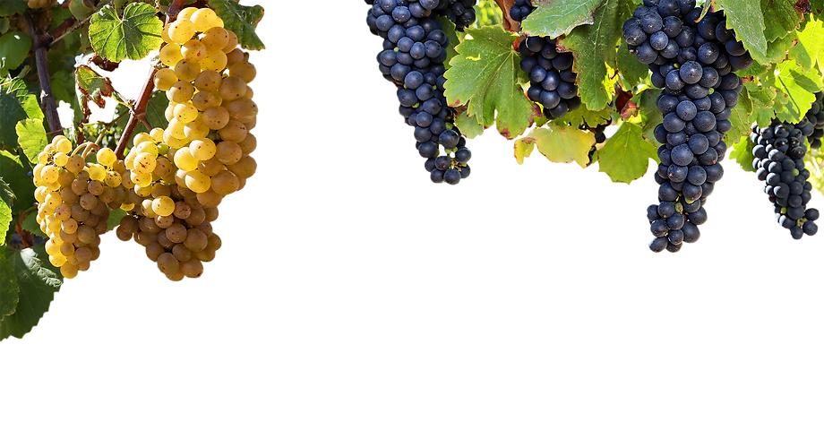 Grapevine isolated.png