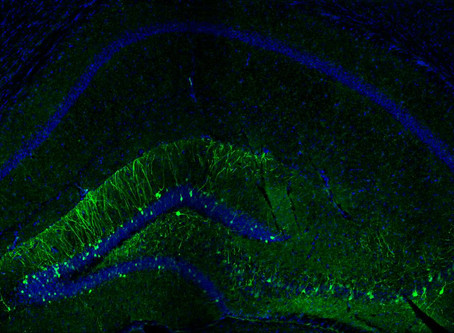 Selectively Reactivating Nerve Cells to Retrieve a Memory