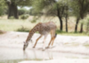 Baby Giraffe in Tanzania tijdens safari-tour