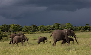 Elephants, herd, Kenya, green, grass, short, Maasai, www.davesimpsonsafaris.com