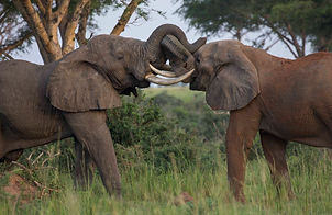 www.davesimpsonsafaris.com, camping, safari, great, fun, private, exclusive, Murchison falls, elephants, fighting, Uganda.