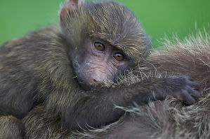 babbon, baby, holding, mother, eyes, Kenya, Nakuru, www.davesimpsonsafaris.com