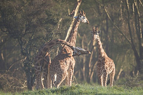 necking, clubbing, giraffe, Nakuru, Kenya, safari, males, fighting, rights, Kenya, www.davesimpsonsafaris.com