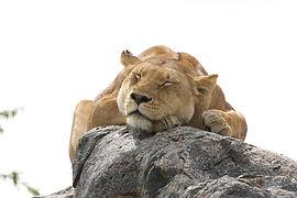 www.davesimpsonsafaris.com, Tanzania, safari, adventure, fun, lion, rocks