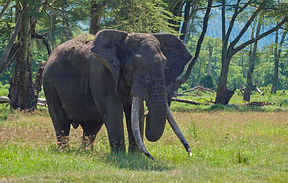 www.davesimpsonsafaris.com, Tanzania, safari, adventure, fun, large, bull, elephant, Ngorongoro