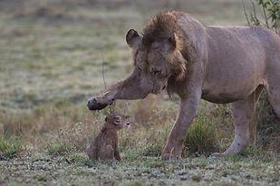 male lion, cub, paw, www.davesimpsonsafaris.com, safari, camping, Kenya