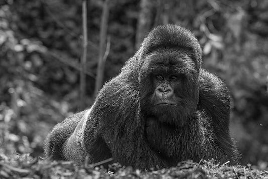 www.davesimpsonsafaris.com, Rwanda, gorilla, relaxed