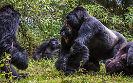 www.davesimpsonsafaris.com, Rwanda, gorilla, agressive fight
