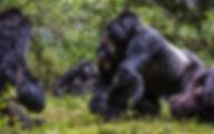 Rwanda, mountain gorillas, stand off, fight, males, www.davesimpsonsafaris.com, safari, endangered
