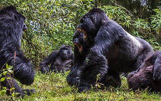 Rwanda, mountain gorillas, stand off, fight, males, www.davesimpsonsafaris.com, safari, endangered