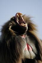 Ethiopia, Simien, www.davesimpsonsafaris.com, camping, safari, gelada, baboon, yarning