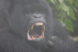 www.davesimpsonsafaris.com, Rwanda, gorilla, mist, agressive